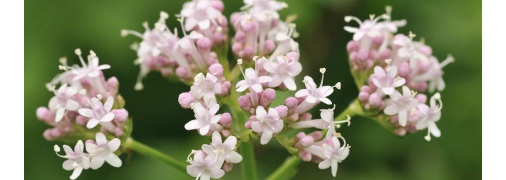 Valeriana: proprietà, benefici, come utilizzarla ed integratori